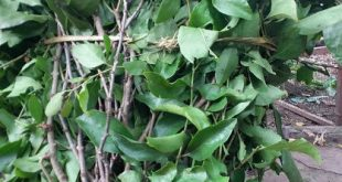 Tác dụng của cây tầm gửi trên cây mít mật chữa bệnh gì ?